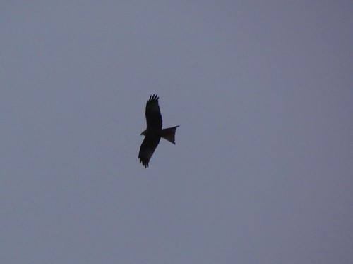 "Red Kite, St Ives, 161113 (V.Stratton) • <a style=""font-size:0.8em;"" href=""http://www.flickr.com/photos/30837261@N07/10888279806/"" target=""_blank"">View on Flickr</a>"