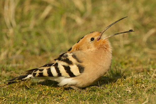 "Hoopoe, Polgigga, 15.03.14 (A.Hugo) • <a style=""font-size:0.8em;"" href=""http://www.flickr.com/photos/30837261@N07/13851418853/"" target=""_blank"">View on Flickr</a>"