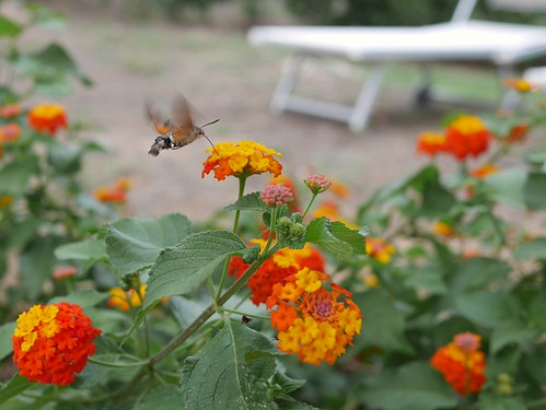 Hummingbird hawk-moth feeding on flowers #Kolibrievlinder  #Macroglossum #stellatarum #butterfly #Mallorca