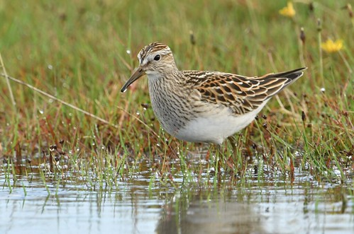 """Pectoral Sandpiper, Davidstow Airfield, 25.09.16 (S.Rogers) • <a style=""""font-size:0.8em;"""" href=""""http://www.flickr.com/photos/30837261@N07/29499627713/"""" target=""""_blank"""">View on Flickr</a>"""