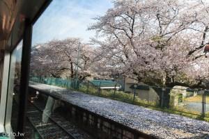 [關東追晚櫻2-1]真岡鐵道,櫻滿開!