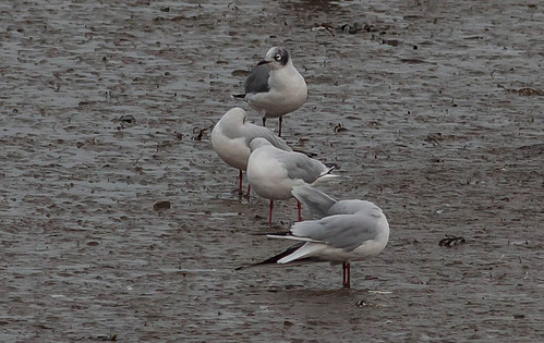 """Franklins Gull, Hayle Estuary, 27.10.16, (M.Curtis • <a style=""""font-size:0.8em;"""" href=""""http://www.flickr.com/photos/30837261@N07/30301878700/"""" target=""""_blank"""">View on Flickr</a>"""
