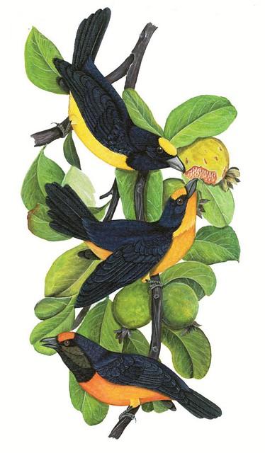 Retrato do Pássaro tem tem. Criação: Edilson Pereira