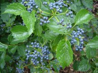 荚莲属的植物蓝色松饼