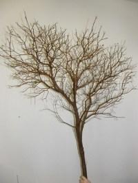常绿灌木枝条批发