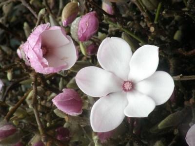 盛开的木兰树