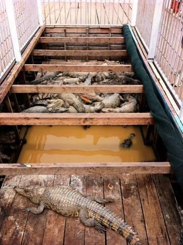 How not to keep crocodiles