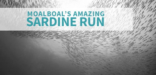Sardine Run - Moalboal