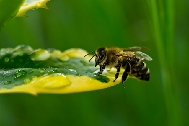 Bee drinking raindrops