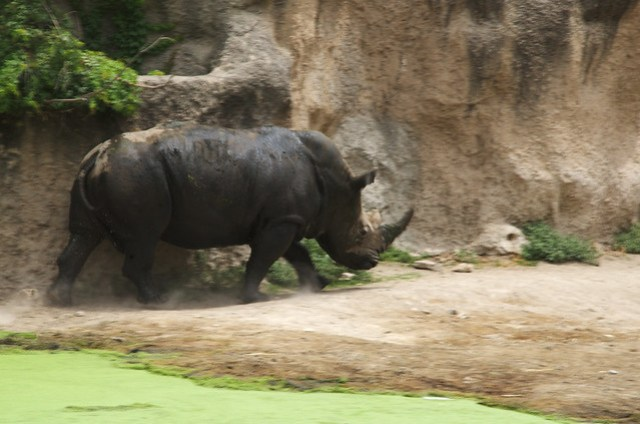 Rhino in motion