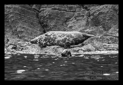 Grey_seals_at_rest