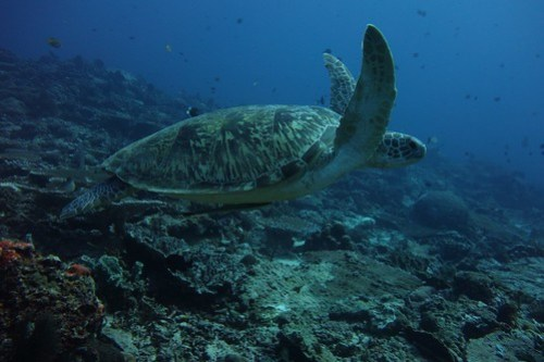 Swimming with a green turtle at 24 m