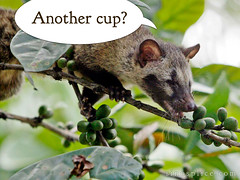 civet-cat-coffee