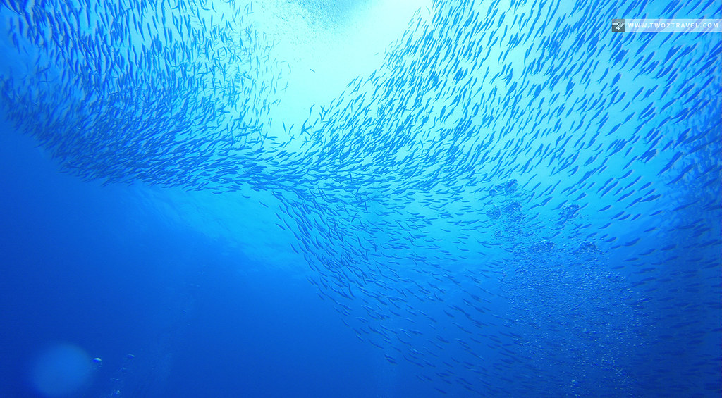 Sardine Run, Moalboal, Cebu | Two2Travel.com