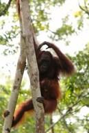 Orang-utans - Borneo Rainforest - Kalimantan, Indonesia