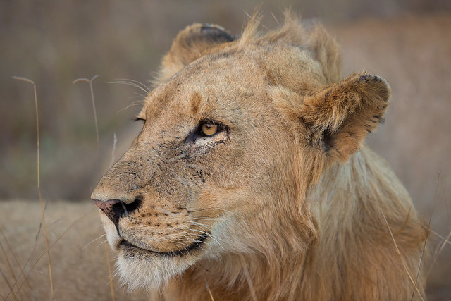 Lioness of Timbavati (No Crop)
