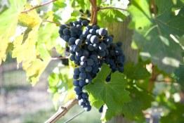 Orofino Vineyard