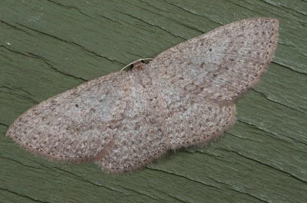 light trap moth
