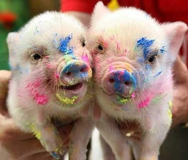 Pennywell painting pigs