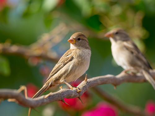 Spanish Sparrow / Weidensperling (Passer hispaniolensis)