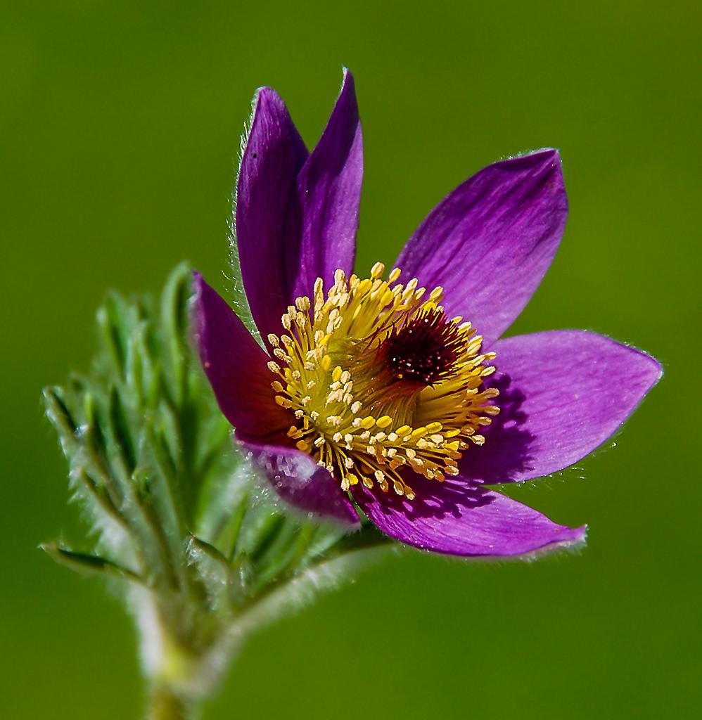 Imagen gratis de una flor morada