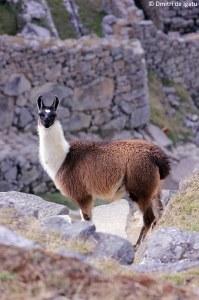Lhama em Mavhu Pichu