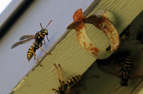 Paper Wasps Closeup