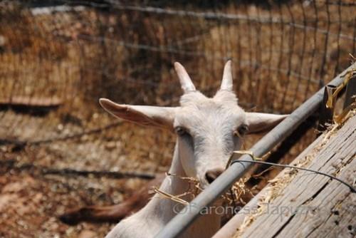 Ein_Kamonim_White_Alpine_Goat