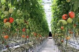 tomato greenhouse plans