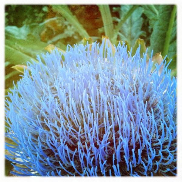 Artichoke flower - Cynara