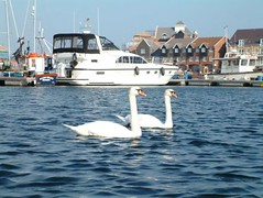 """Harbour Swans • <a style=""""font-size:0.8em;"""" href=""""http://www.flickr.com/photos/59278968@N07/6325411781/"""" target=""""_blank"""">View on Flickr</a>"""