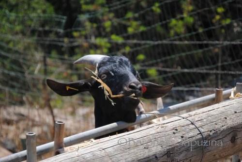 Ein_Kamonim_Black_Alpine_Goat