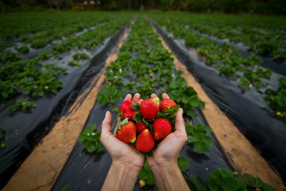 Frutillas recién recolectadas en la huerta de Carlos Quintana, en la localidad de Estanzuela, abren la temporada de cosecha para la recién inaugurada Expo Frutilla 2011. (Tetsu Espósito)