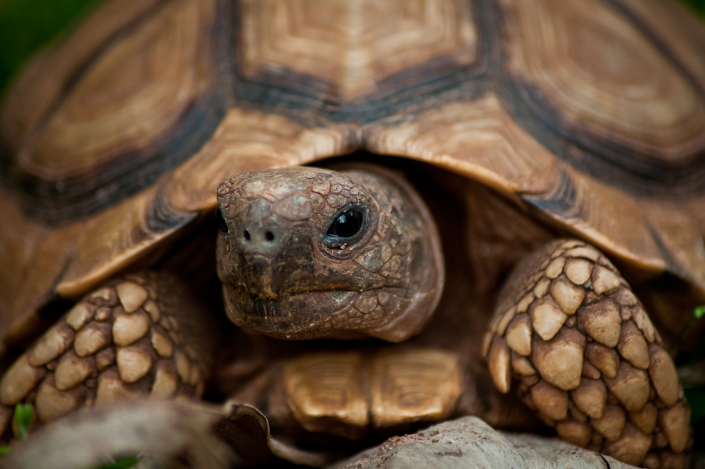 Una tortuga es mantenida como mascota en una estancia en las afueras del centro de Yegros. (Elton Núñez)