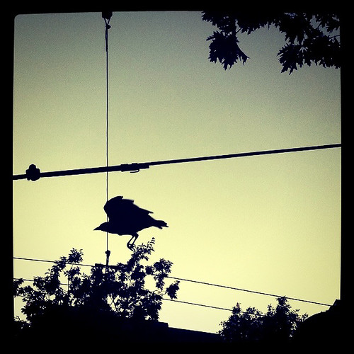 Crows in silhouette