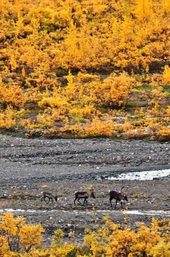 Caribou in Denali National Park, Aug. 2011