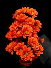 'Managua Orange' Chrysanthemum