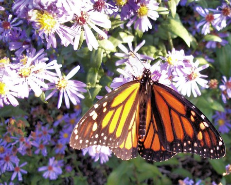 Monarch butterfly  026