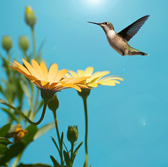 Blue Sky Hummingbird Flying on Yellow Flower Garden