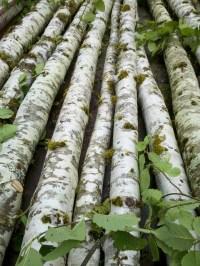 桤木杆,桦木杆