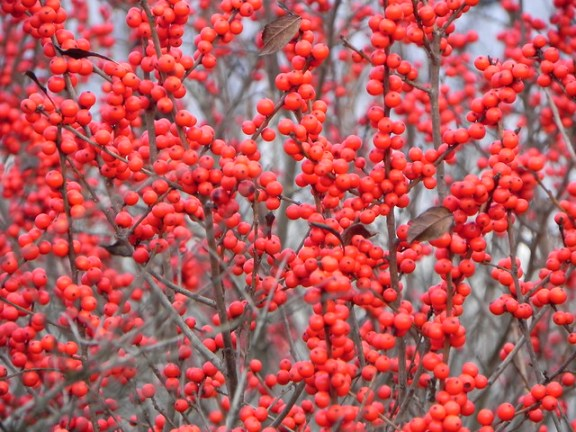 Winter Red winterberry fruit