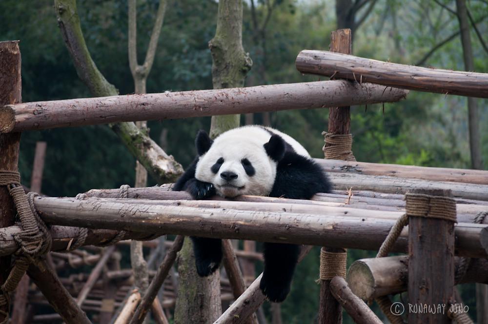 Giant_Panda_sleeping_Chengdu_Sichuan_China2