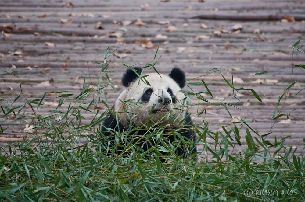 Panda_with_bamboo_Chengdu_Sichuan_China
