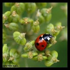 Ladybird 1