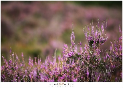 Heather in bloom (1D099222)