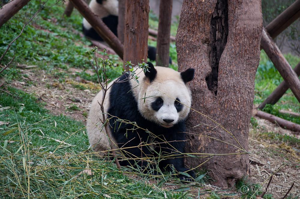 Cup_Panda_Chengdu_Sichuan_China2