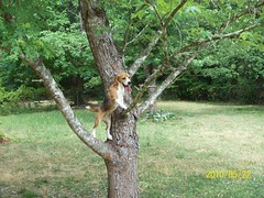 Beagle Sweetheart Climbs a Tree Chasing a Squirrel
