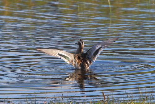 """Garganey, Marazion, 24.04.16 (M.Halliday) • <a style=""""font-size:0.8em;"""" href=""""http://www.flickr.com/photos/30837261@N07/26223814513/"""" target=""""_blank"""">View on Flickr</a>"""
