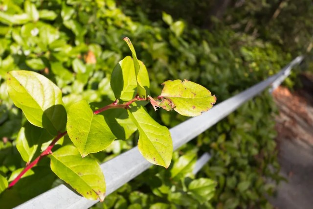 Salal with railing