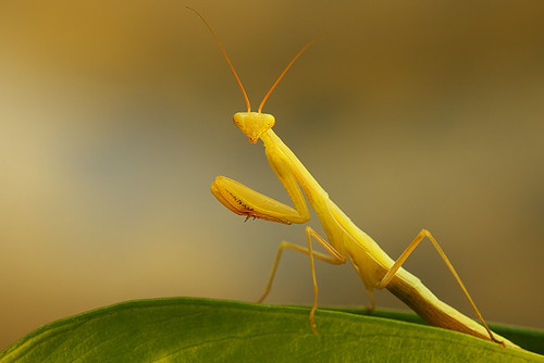 """Mantis sitting on a leaf • <a style=""""font-size:0.8em;"""" href=""""http://www.flickr.com/photos/22289452@N07/9514253767/"""" target=""""_blank"""">View on Flickr</a>"""